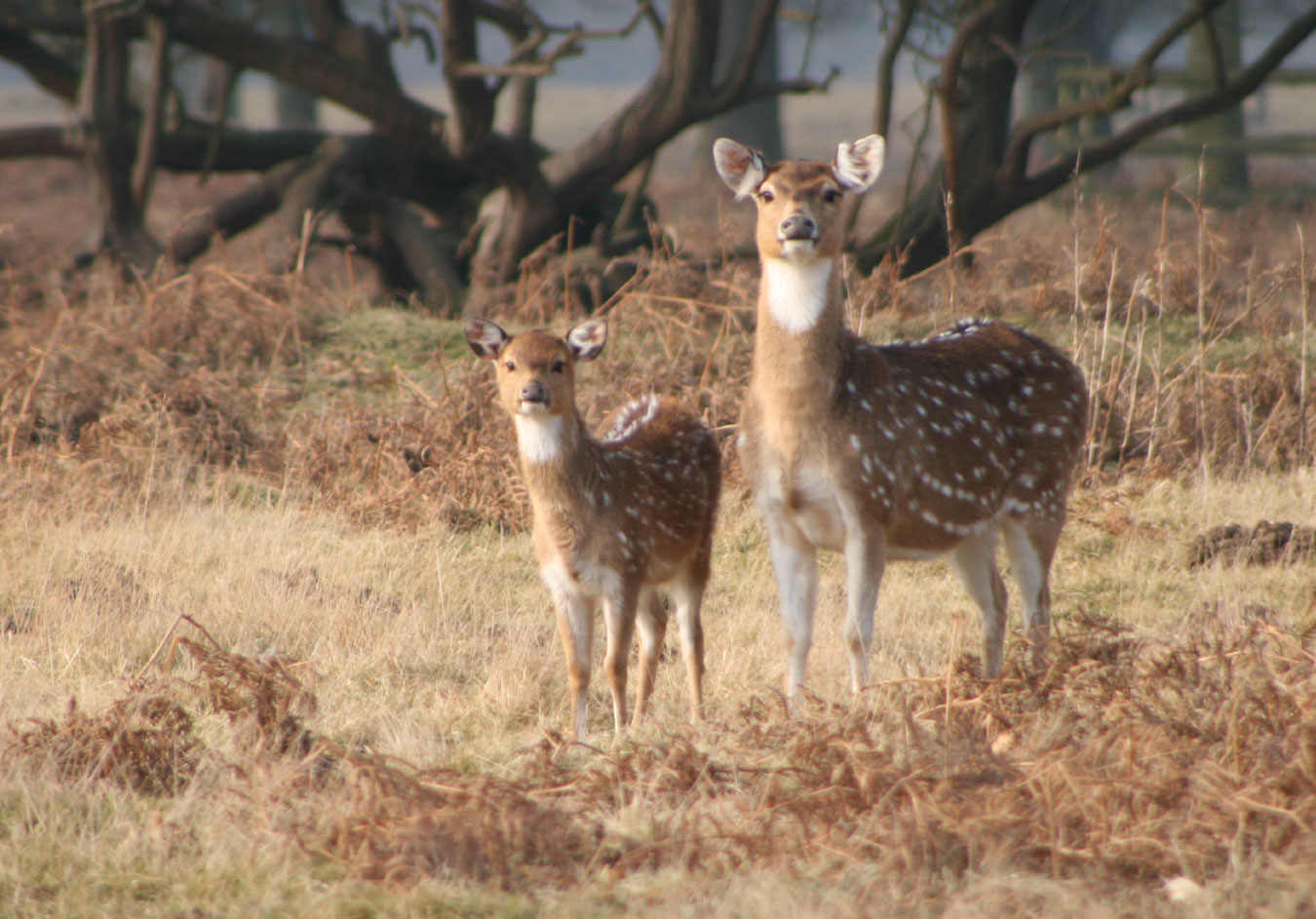 Axis-Chital